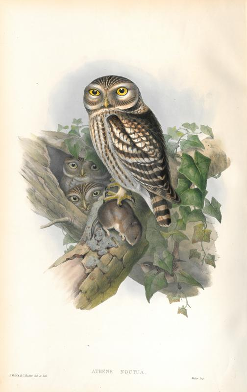 Little Owl Louisiana Digital Library